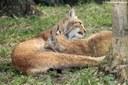 Lynx lynx isabellinus
