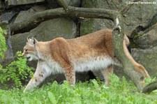 Zentralasiatischer Luchs (Lynx lynx isabellinus) im Tierpark Berlin-Friedrichsfelde