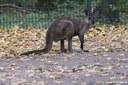 Macropus fuliginosus melanops
