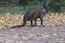 Westliches Graues Riesenkänguru (Macropus fuliginosus melanops) im Tierpark Berlin