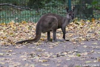 Westliches Graues Riesenkänguru (Macropus fuliginosus melanops)
