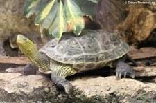 Chinesische Streifenschildkröte (Mauremys sinensis) im Tierpark Berlin-Friedrichsfelde