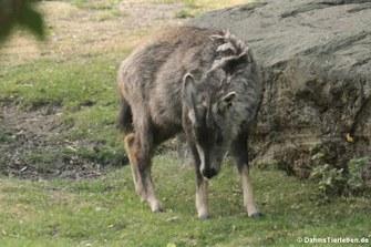 Mittelchinesische Goral (Naemorhedus goral arnouxianus)