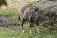 Mittelchinesischer Goral (Naemorhedus goral arnouxianus) im Tierpark Berlin