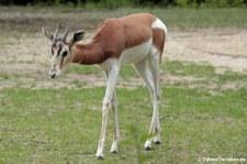 Mhorrgazelle (Nanger dama mhorr) im Tierpark Berlin