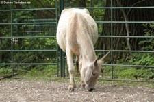 Nellore-Zebu (Bos primigenius f. taurus) im Tierpark Berlin