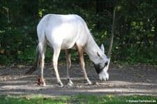 Arabische Oryx (Oryx leucoryx) im Tierpark Berlin