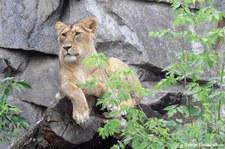 Asiatische Löwin (Panthera leo persica) im Kölner Zoo Tierpark Berlin-Friedrichsfelde