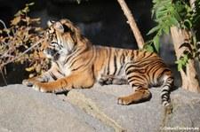Sumatra-Tiger (Panthera tigris sumatrae) im Tierpark Berlin