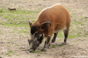 Pinselohrschwein (Potamochoerus porcus)