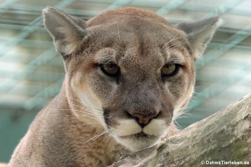 Puma concolor missoulensis