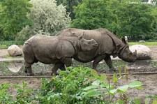Panzernashorn (Rhinoceros unicornis) im Tierpark Berlin