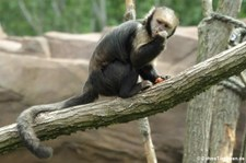 Gelbbrust-Kapuziner (Sapajus xanthosternos) im Tierpark Berlin