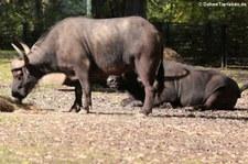 Kaffernbüffel oder Schwarzbüffel (Syncerus caffer caffer) im Tierpark Berlin