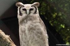 Milchuhu (Bubo lacteus) im Tierpark Berlin