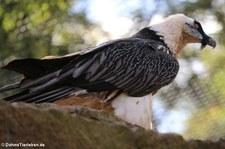 Bartgeier (Gypaetus barbatus) im Tierpark Berlin-Friedrichsfelde
