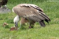 Gänsegeier (Gyps fulvus) im Tierpark Berlin-Friedrichsfelde