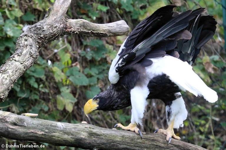 Haliaeetus pelagicus