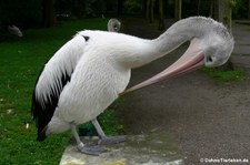 Brillenpelikan (Pelecanus conspicillatus) im Tierpark Berlin-Friedrichsfelde