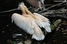 Rosapelikan (Pelecanus onocrotalus) im Tierpark Berlin