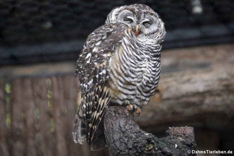 Strix chacoensis