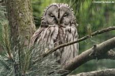 Habichtskauz oder Uralkauz (Strix uralensis) im Tierpark Berlin