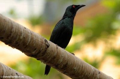 Malaienstar (Aplonis panayensis)