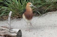 Paddyreiher (Ardeola grayii) im Zoologischen Garten Berlin