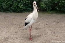 Maguari-Storch (Ciconia maguari) im Zoologischen Garten Berlin