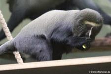 Eulenkopfmeerkatze (Cercopithecus hamlyni) im Zoologischen Garten Berlin