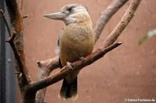 Haubenliest oder oder Blauflügel-Kookaburra (Dacelo leachii) im Zoologischen Garten Berlin