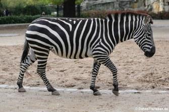 Böhm- oder Grant-Zebra (Equus quagga boehmi)