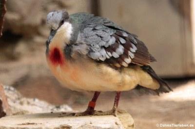 Dolchstichtaube (Gallicolumba luzonica)