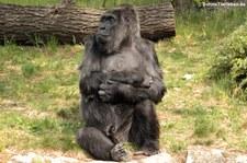 Westlicher Flachlandgorilla (Gorilla gorilla gorilla) im Zoologischen Garten Berlin