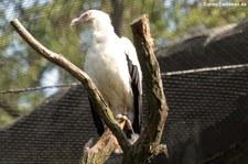 Palmgeier (Gypohierax angolensis) im Zoologischen Garten Berlin