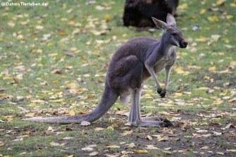 Rotes Riesenkänguru (Macropus rufus)