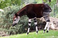 Okapi (Okapia johnstoni) im Zoologischen Garten Berlin