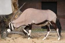 Südafrikanischer Spießbock (Oryx gazella) im Zoologischen Garten Berlin