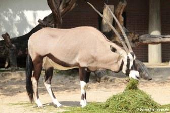 Südafrikanischer Spießbock (Oryx gazella)