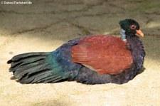 Grünnacken-Fasantaube (Otidiphaps nobilis) im Zoologischen Garten Berlin