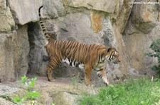 Indochinesischer Tiger (Panthera tigris corbetti) im Zoologischer Garten Berlin