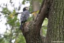 Phalacrocorax carbo sinensis