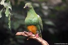 Westliche Orangebauch-Fruchttaube (Ptilinopus iozonus humeralis) im Zoologischen Garten Berlin