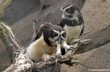 Brillenkauz (Pulsatrix perspicillata) im Zoologischen Garten Berlin