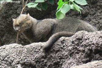 Jaguarundi oder Wieselkatze (Puma yagouaroundi)
