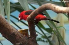 Purpurtangare (Ramphocelus bresilius) im Zoologischen Garten Berlin