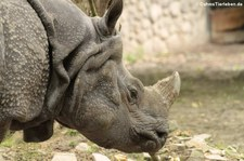 Panzernashorn (Rhinoceros unicornis) im Zoologischer Garten Berlin