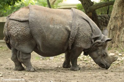 Panzernashorn (Rhinoceros unicornis)