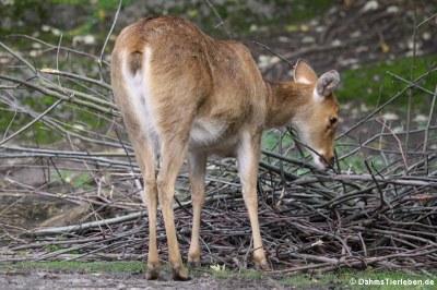 Barasingha oder Zackenhirsch (Rucervus duvaucelii)