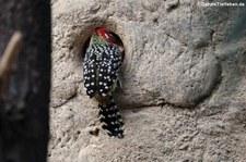 Flammenkopf-Bartvogel (Trachyphonus erythrocephalus) im Zoologischen Garten Berlin